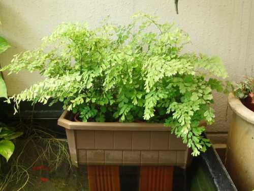 В домашних условиях выращивание адиантума часто затруднительно изза чрезмерной сухости комнатного воздуха