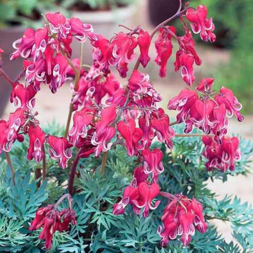 Это могут быть цветы исключительно белые, например, дицентра альба или дицентра канадская