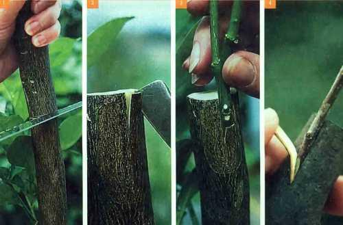 Поливать деревце нужно при необходимости