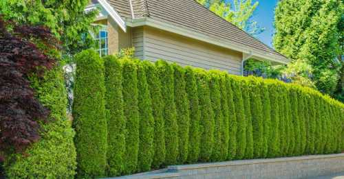 Живая изгородь на вашем садовом участке