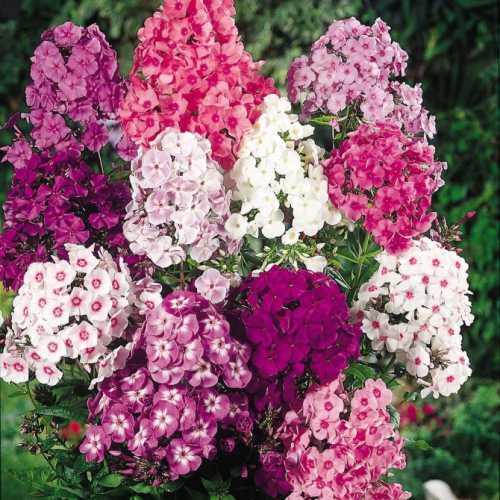 Флоксы садовые цветы