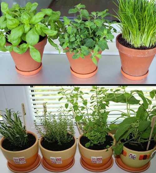 Всходить они начинают в течение недели, а листья выпускает салат в течение недель