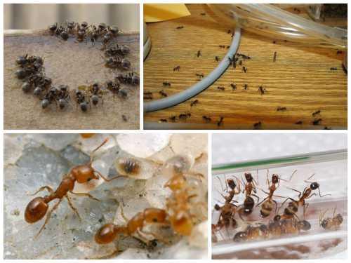 Найдя такое угощение, рабочие муравьи сначала сами наедятся вдоволь, после чего потащат провиант в гнездо, чтобы накормить матку и личинок