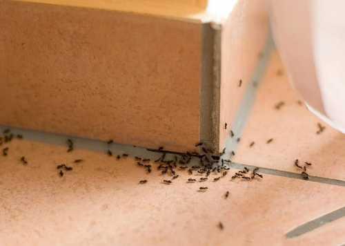 Домашние домовые муравьи: как с ними бороться