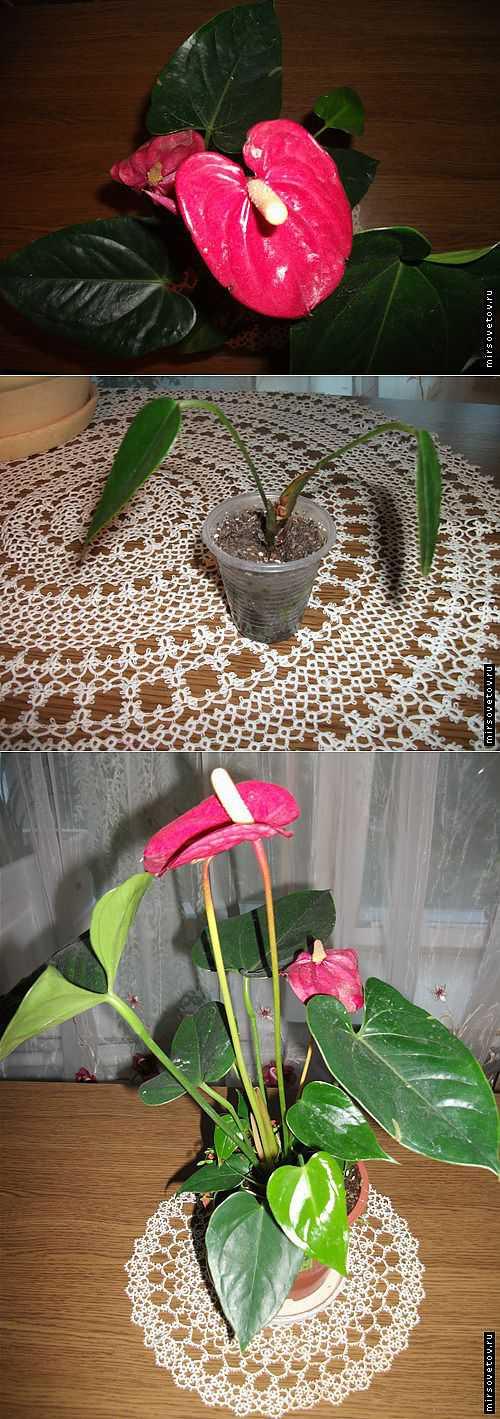 Чтобы цветок обильно цвел, корни должны полностью заполнять горшок