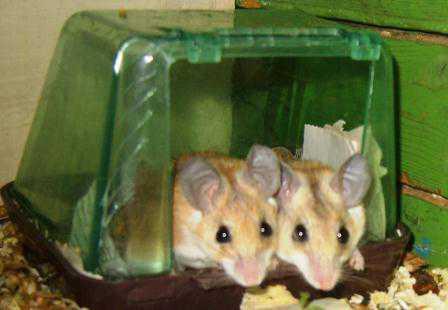 Живой уголок: мыши