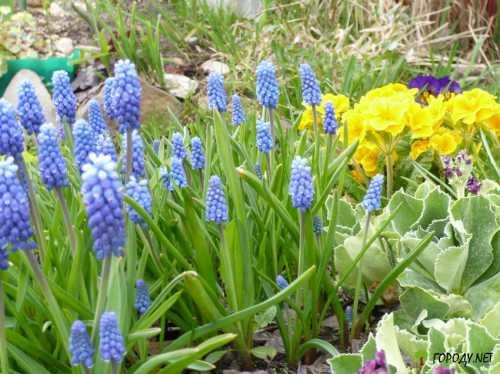 Первоцветы в вашем саду
